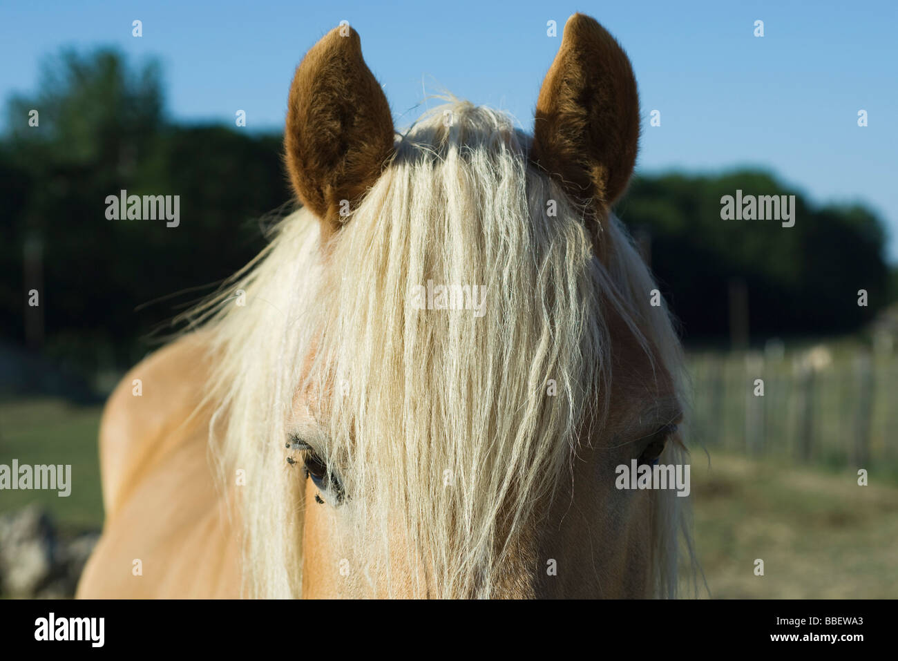 Horse with white mane, close-up - Stock Image