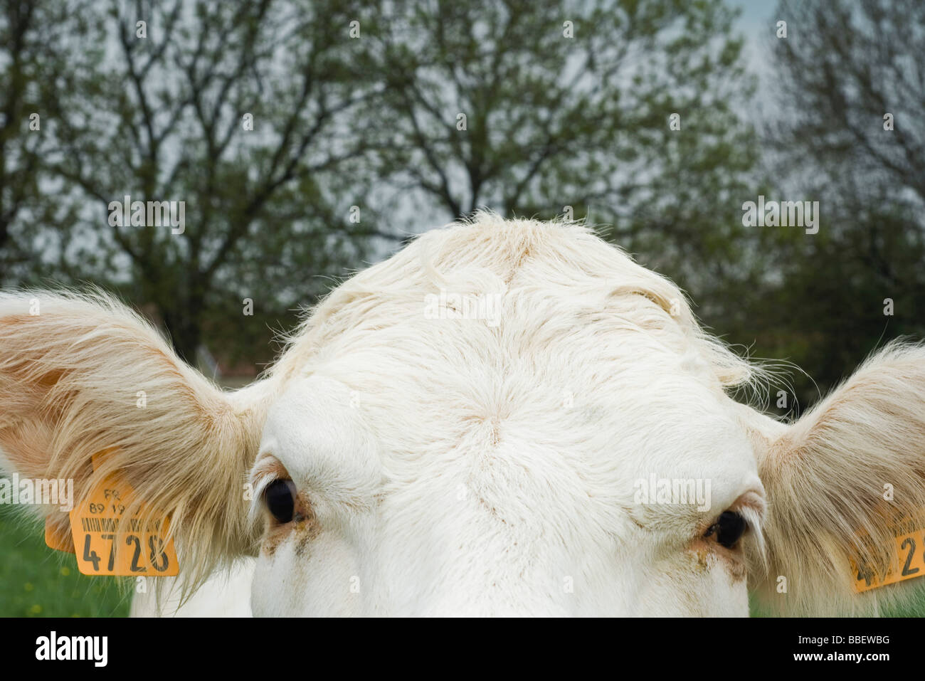 White cow looking at camera, extreme close-up - Stock Image
