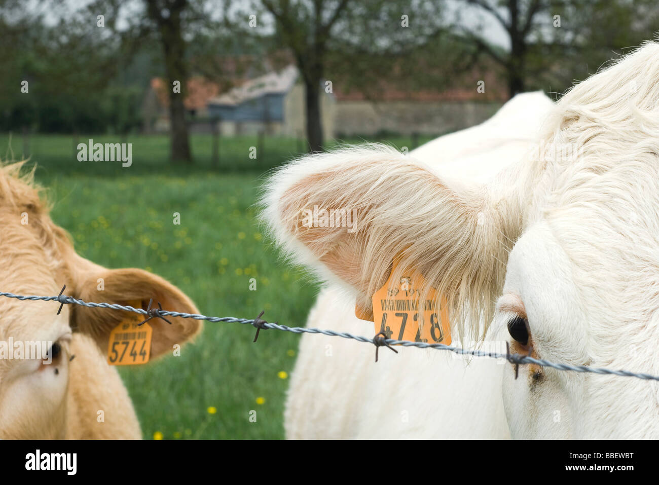 Cattle with ear tags behind barbed wire, close-up - Stock Image