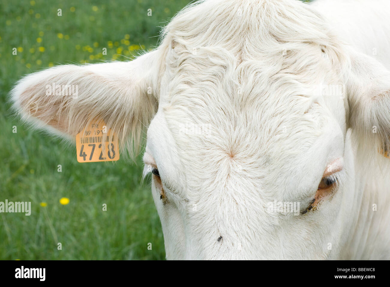 White cow with tagged ear, extreme close-up - Stock Image
