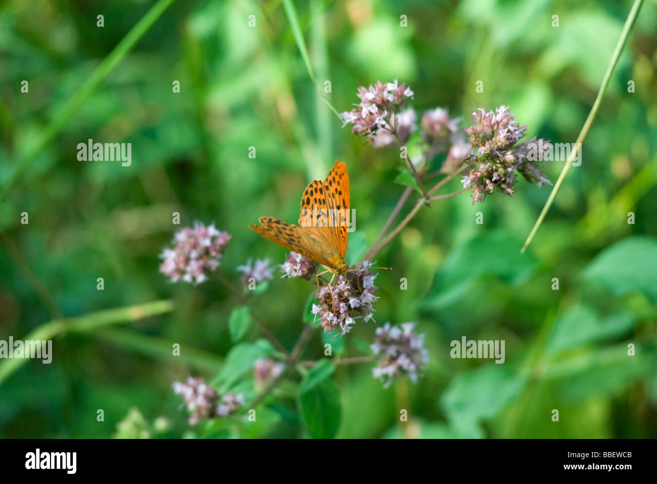 Orange butterfly on flowering plant - Stock Image