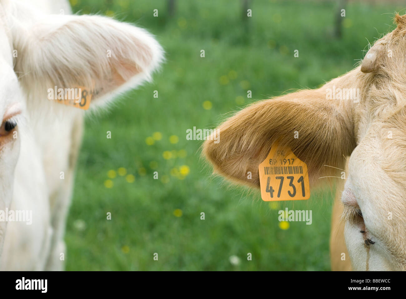 Cows with tagged ears, close-up - Stock Image