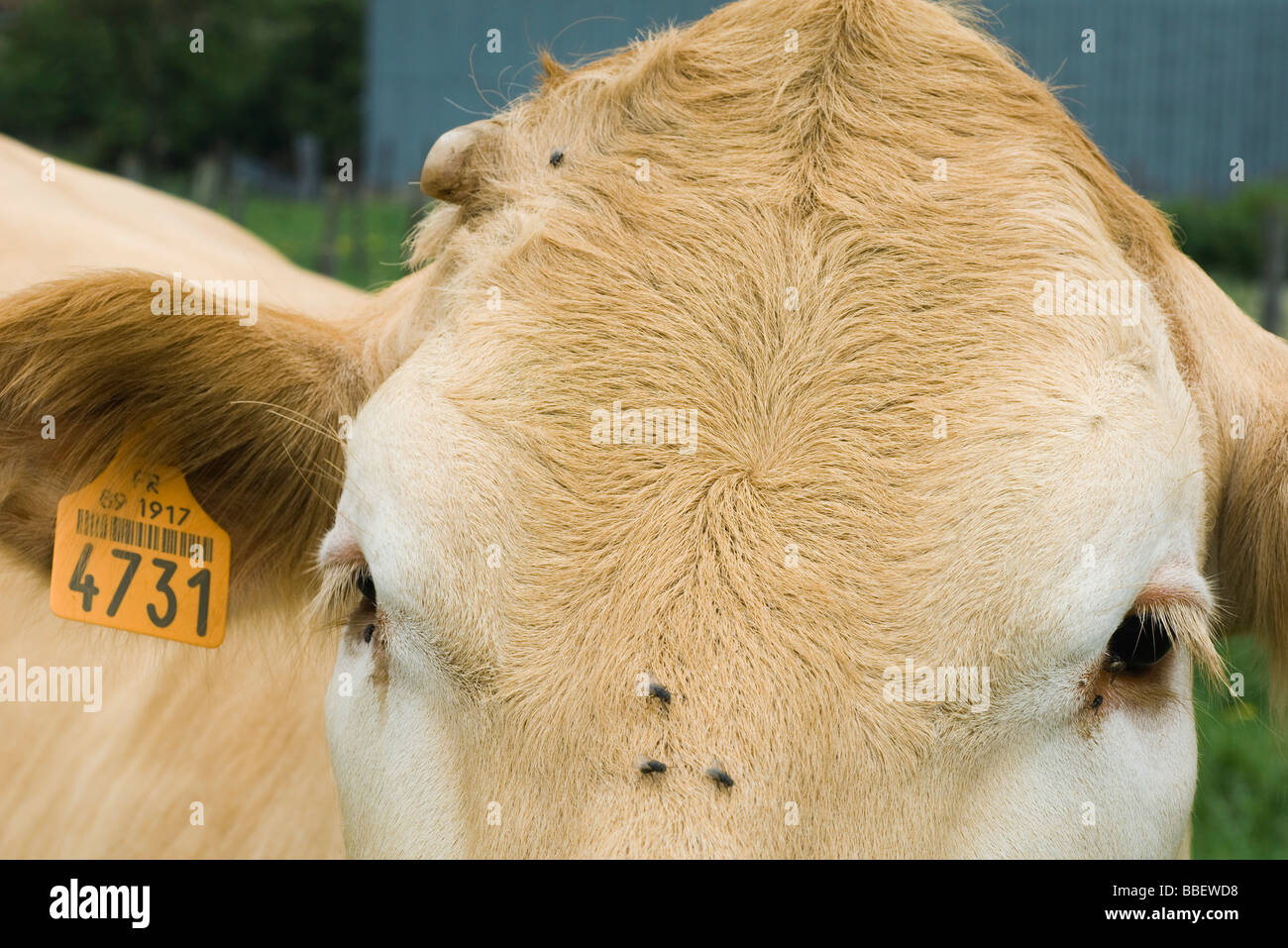Cow with ear tag, extreme close-up - Stock Image