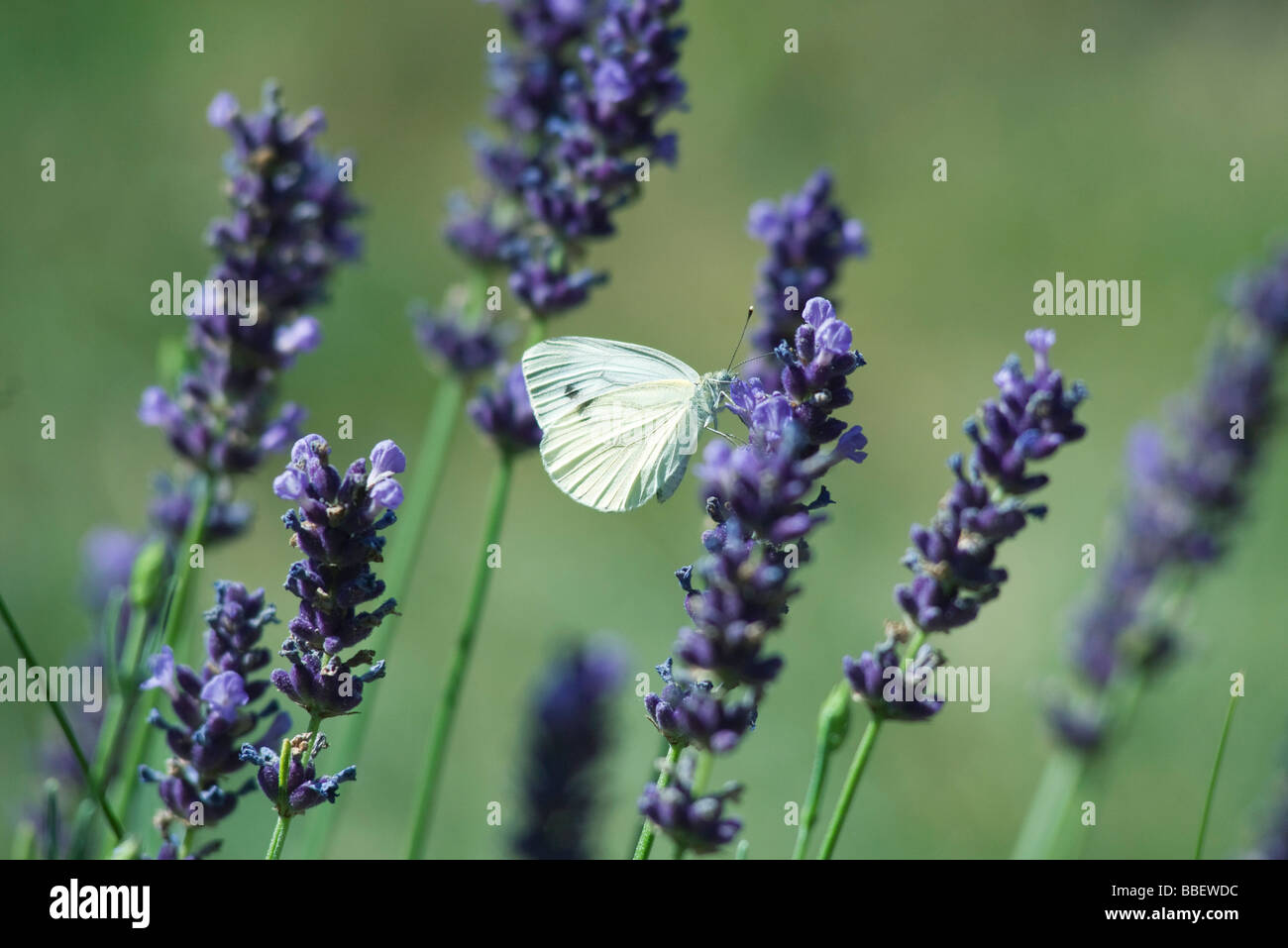 Small butterfly on lavender flowers Stock Photo
