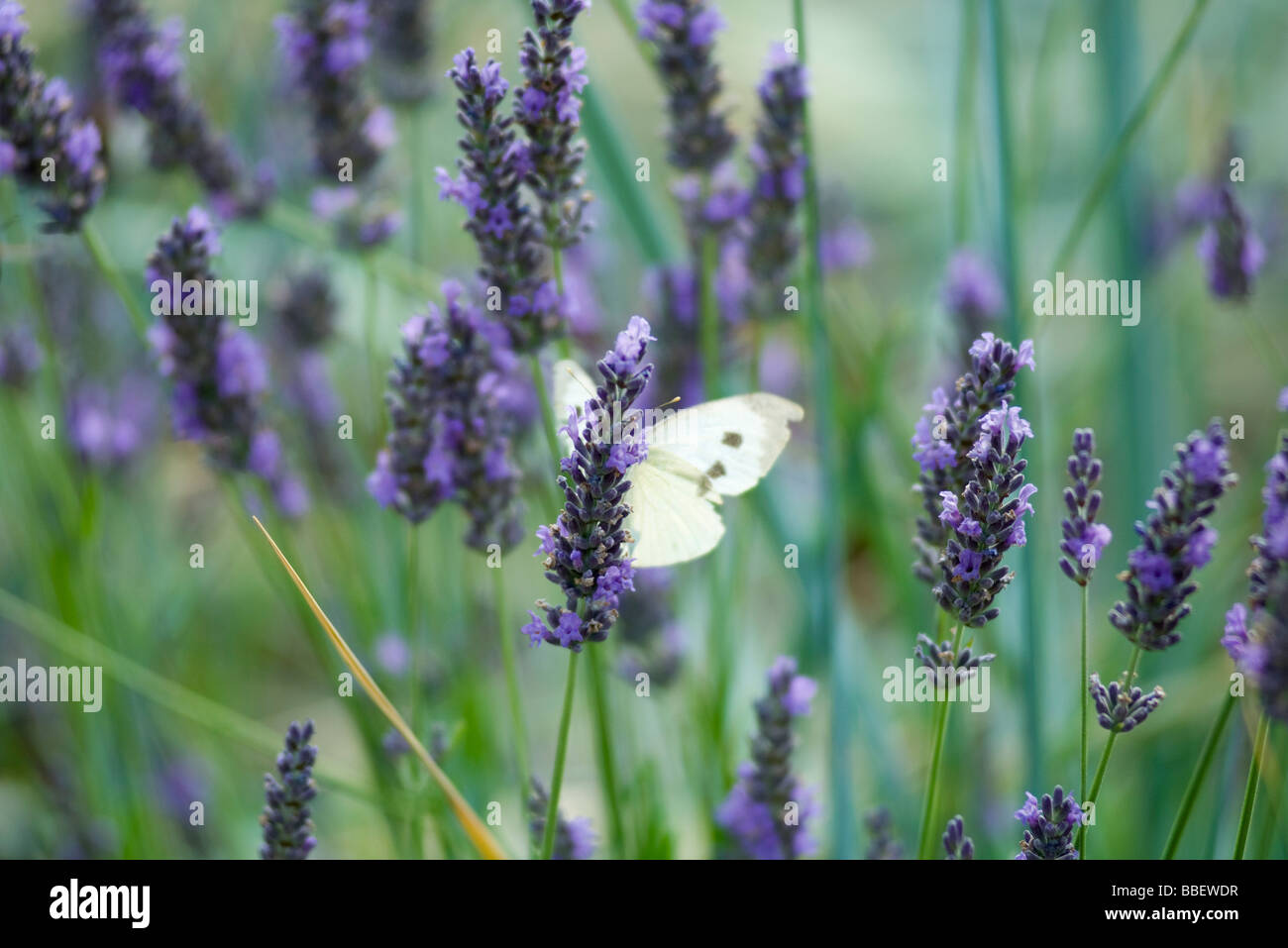 Butterfly resting on lavender - Stock Image