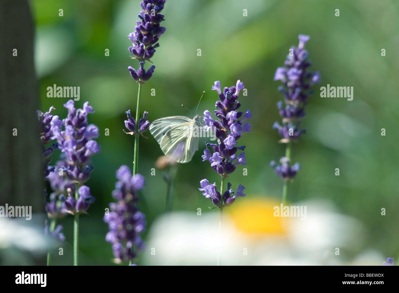 Small butterfly on lavender flowers - Stock Image