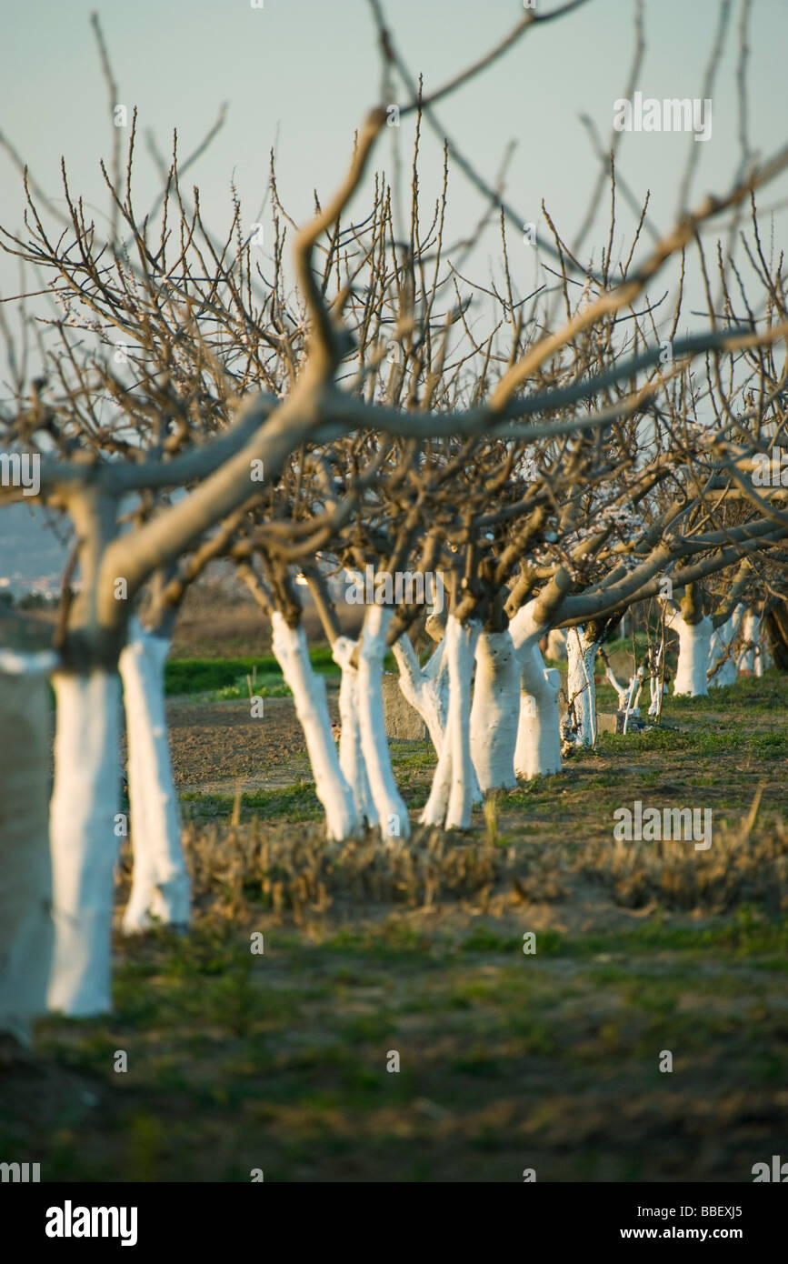 Bare fruit trees in orchard - Stock Image