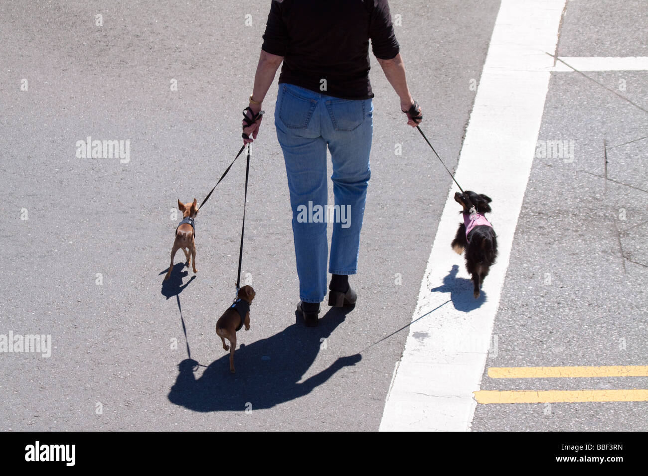 Woman walking three small dogs and crossing the street, casting shadow on the pavement - Stock Image