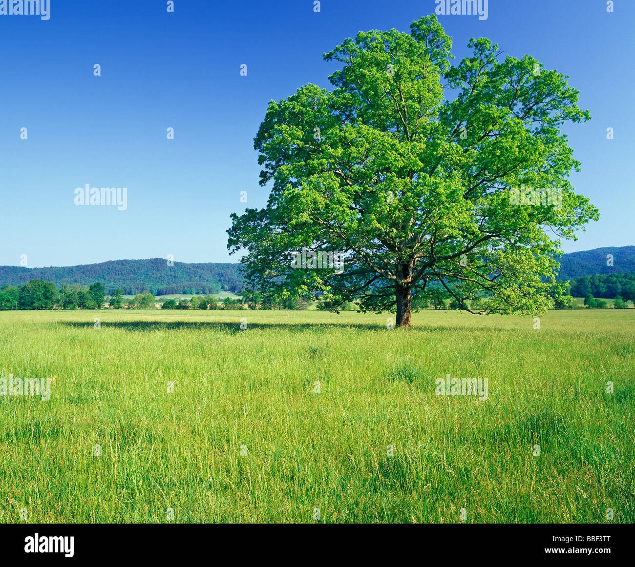 Old oak tree standing in the meadows of Cades Cove in the Great Smoky Mountains National Park Tennessee Stock Photo