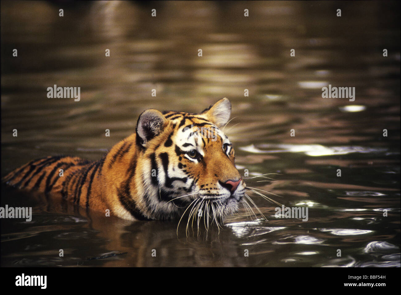 Tiger in the water, they are arguably the biggest member of the cat family. - Stock Image