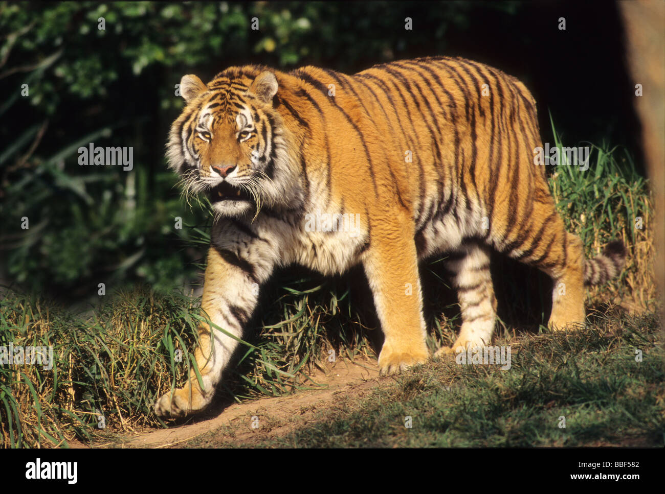 Siberian Tiger is arguably the biggest member of the cat family. - Stock Image