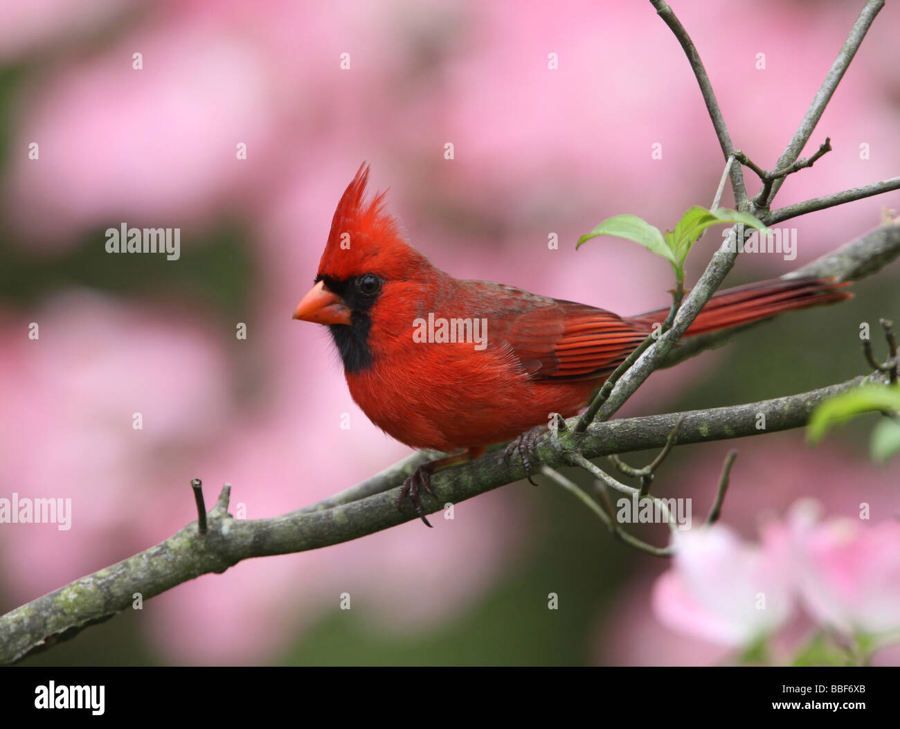 cardinal colorful dogwood tree - Stock Image