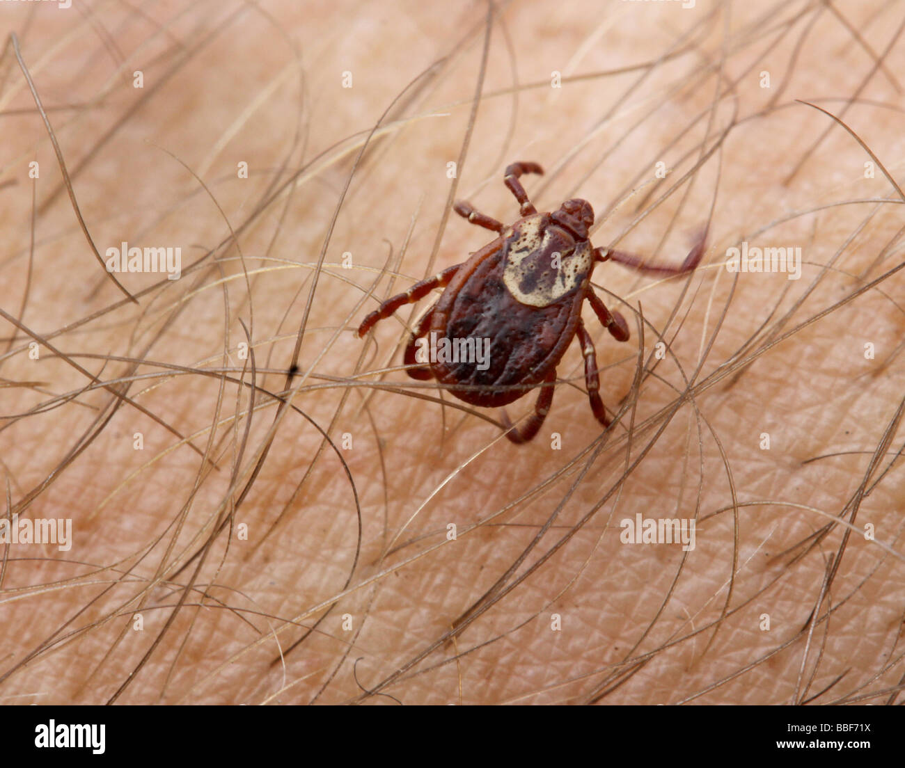 Wood tick parasite - Stock Image