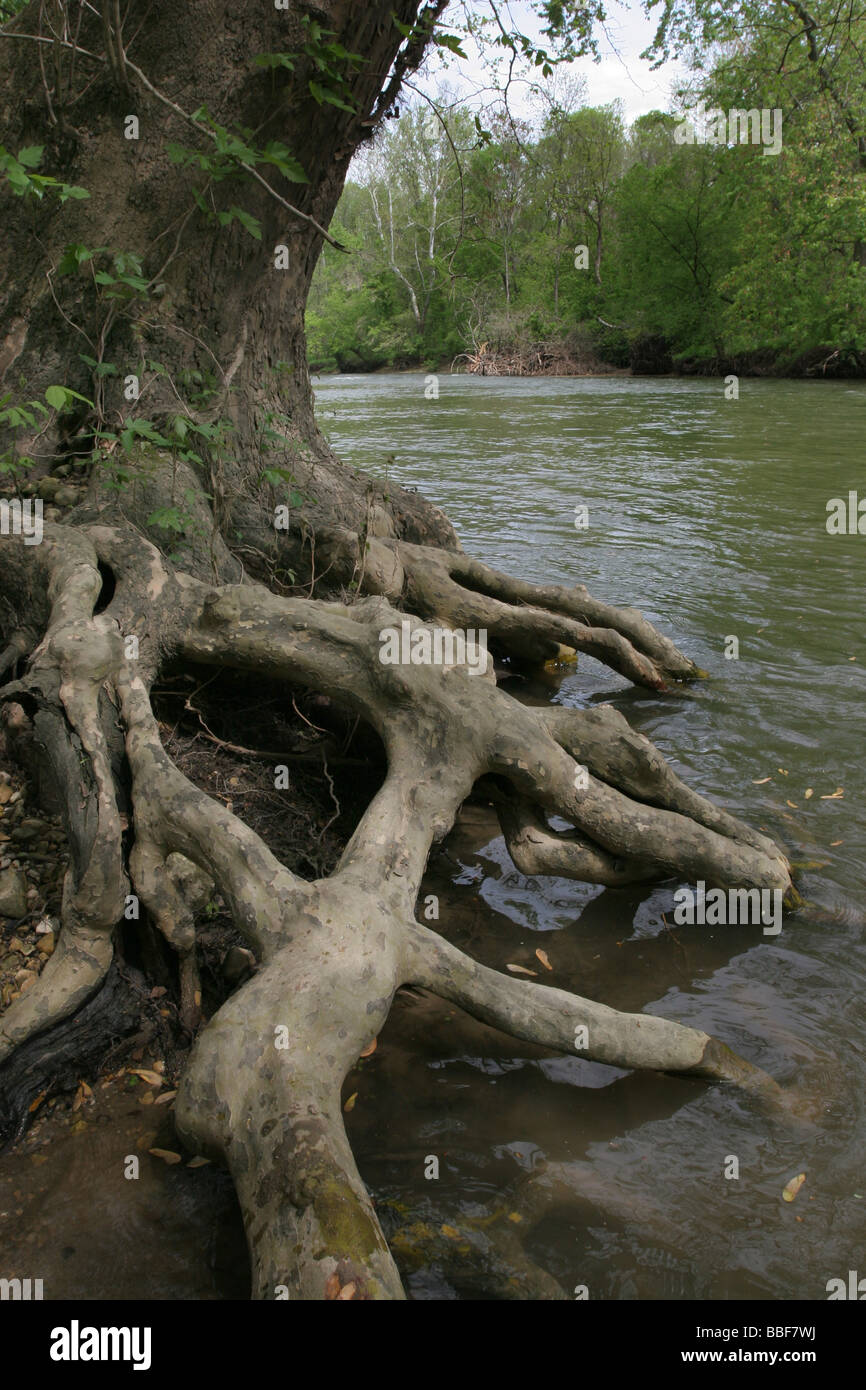 Sycamore tree root Big Darby river Ohio - Stock Image