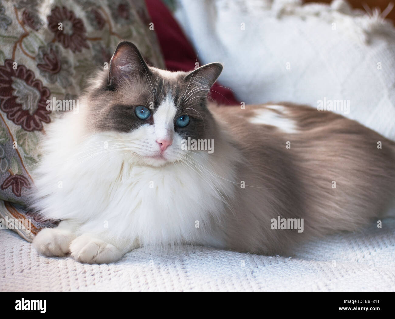 Soft expression of a young male Ragdoll catblue eyes - Stock Image