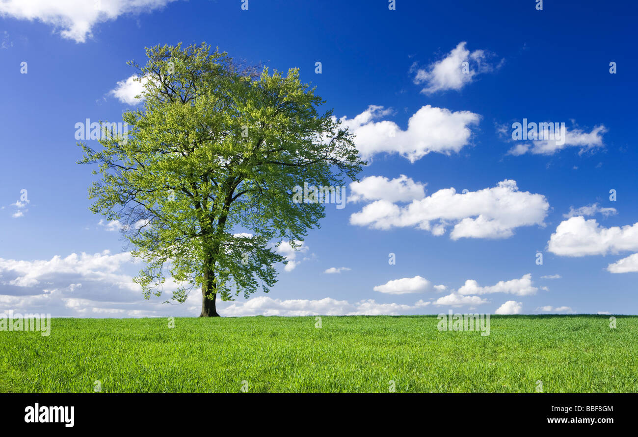 Single beech tree in field of young growing crop. UK. - Stock Image