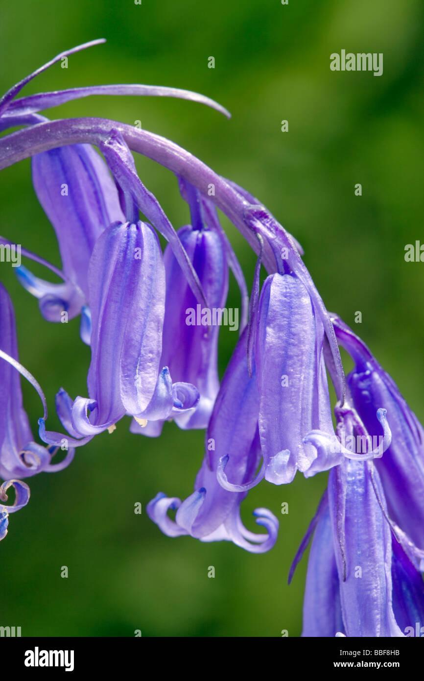 Bluebell flowers, Hyacinthoides non-scripta (Endymion non-scriptus). UK. Stock Photo