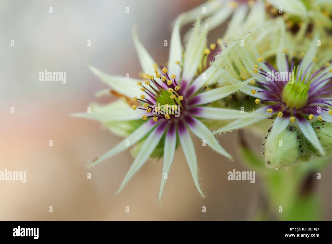 Sempervivum Grandiflorum flowers - Stock Image