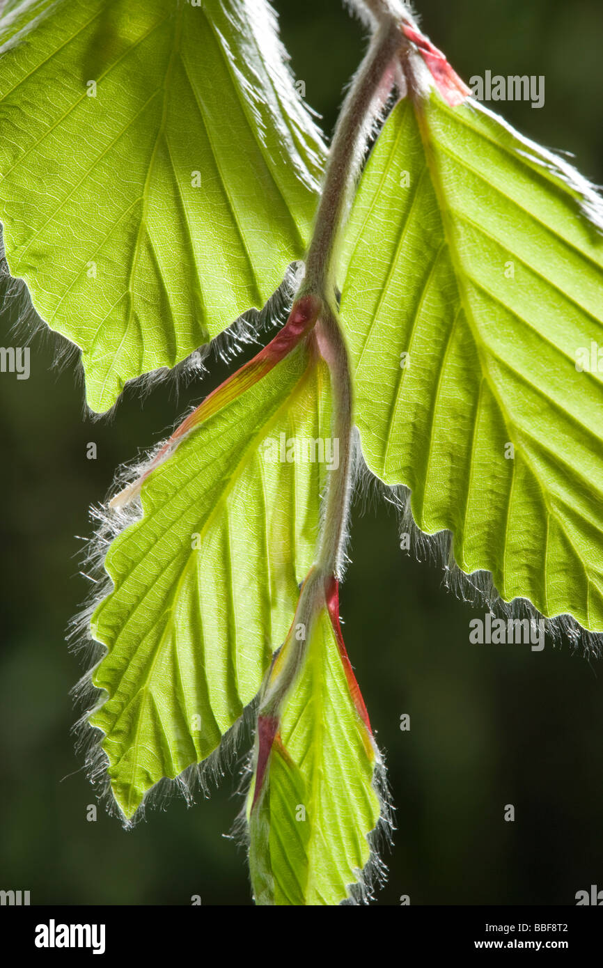 Beech leaves in spring, Fagus sylvatica. UK - Stock Image
