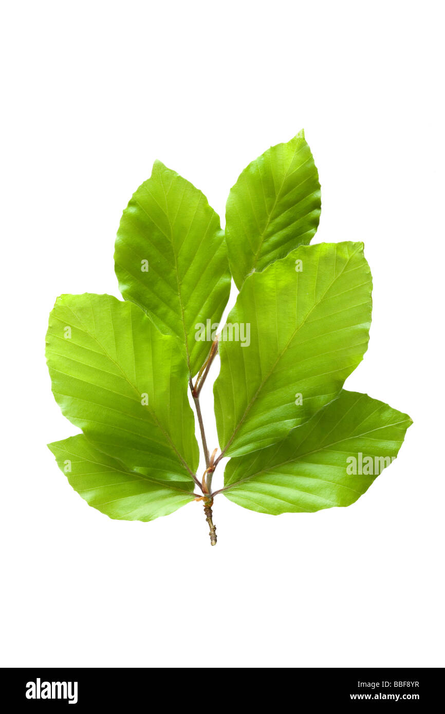 Fresh spring beech leaves. Fagus sylvatica. UK - Stock Image