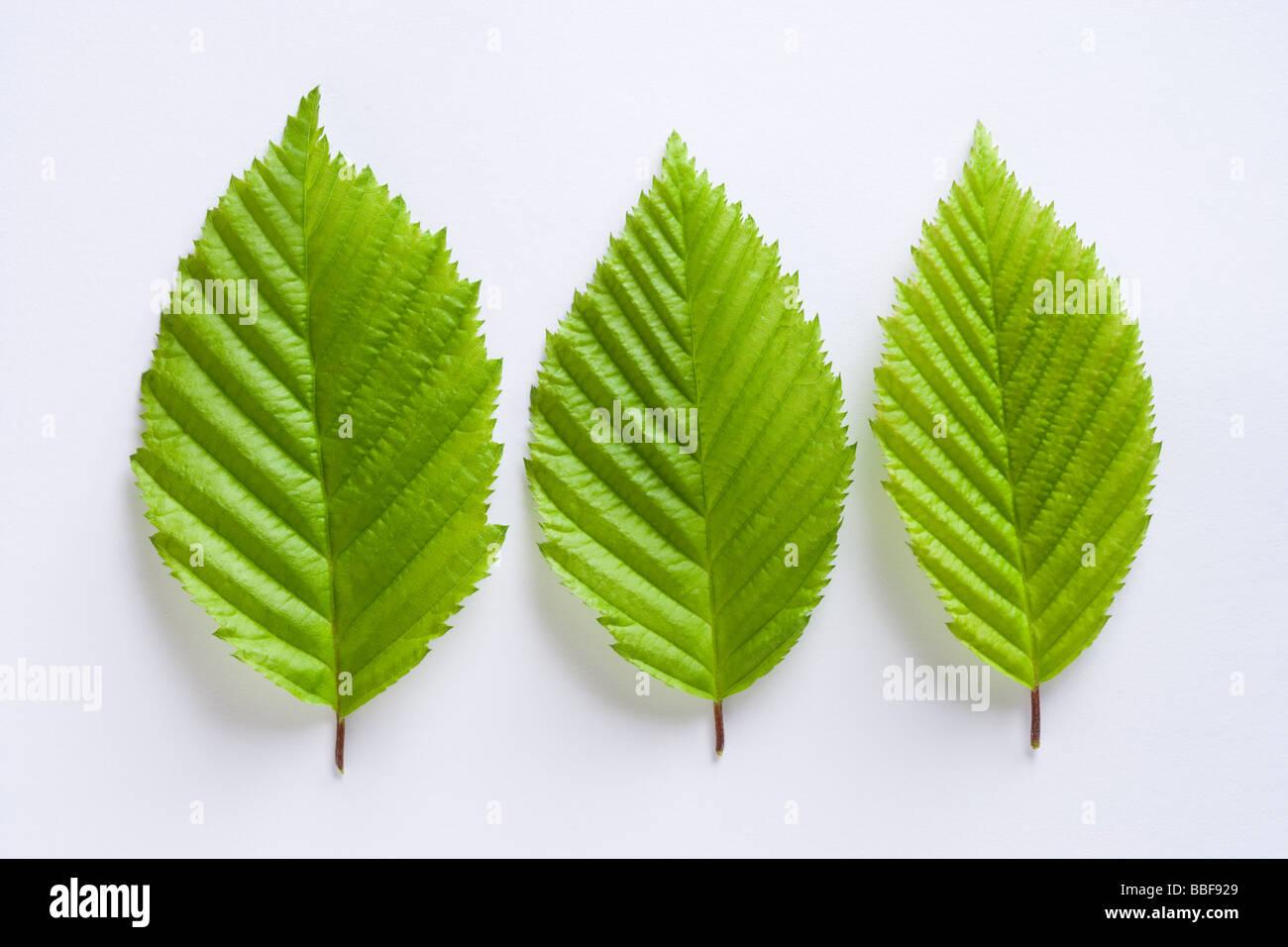 Leaves from hornbeam tree, Carpinus betulus. - Stock Image