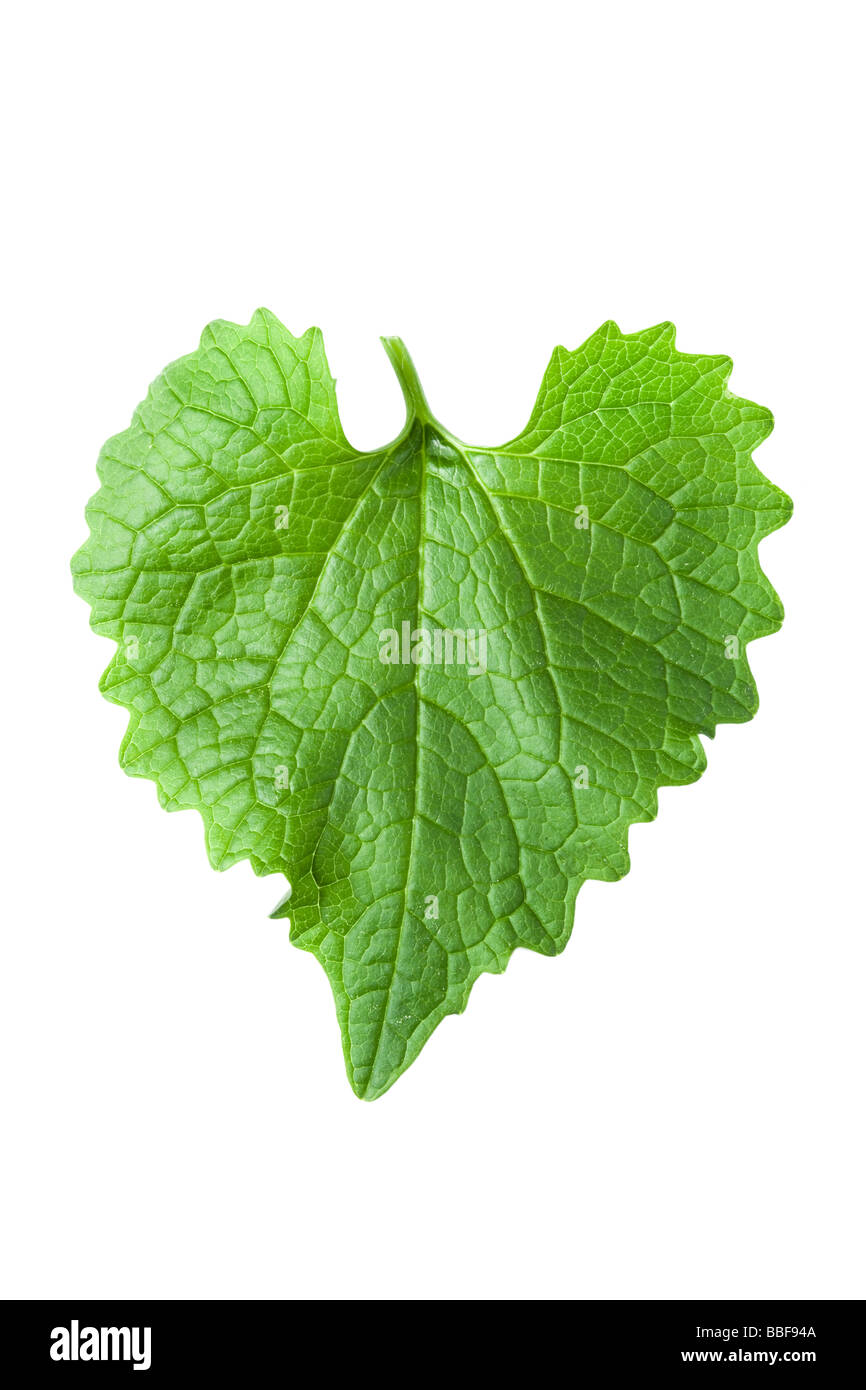 Heart shaped leaf. From Garlic mustard, Alliaria petiolata. UK - Stock Image