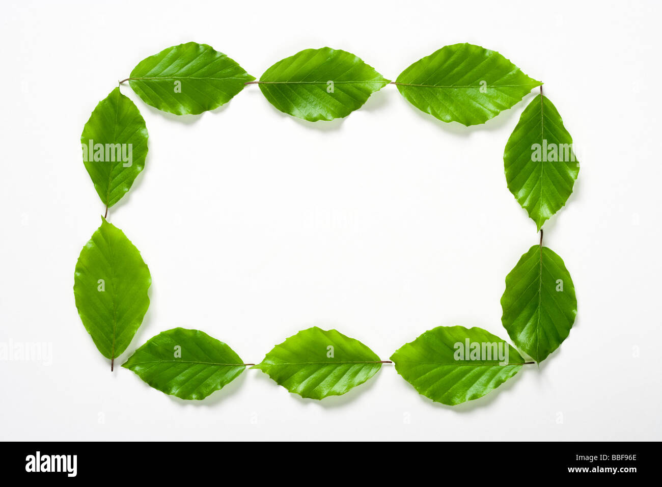Rectangle of leaves. Beech leaves. - Stock Image