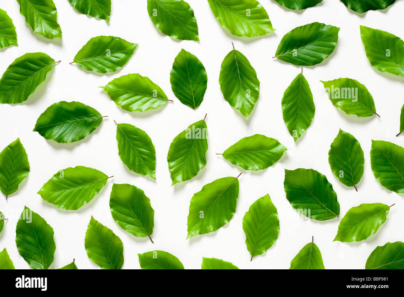 Beech leaves. Fagus sylvatica. UK - Stock Image