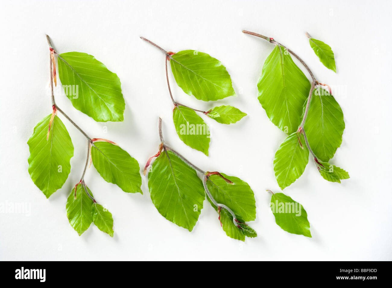 Fresh spring beech leaves, Fagus sylvatica. - Stock Image
