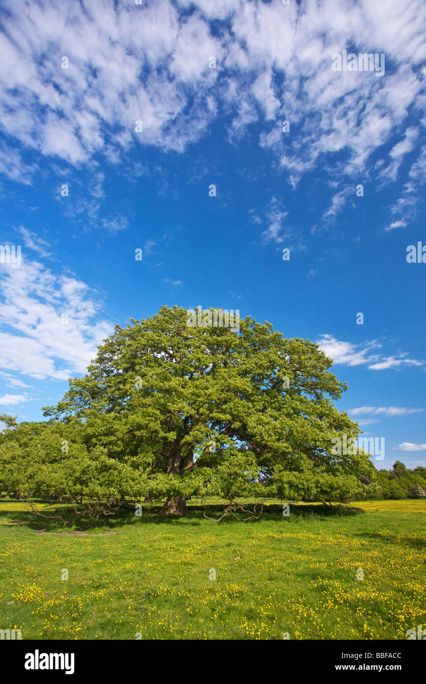 Oak tree in english meadow full of buttercups in summer sun May Shropshire England UK United Kingdom GB Great Britain - Stock Image