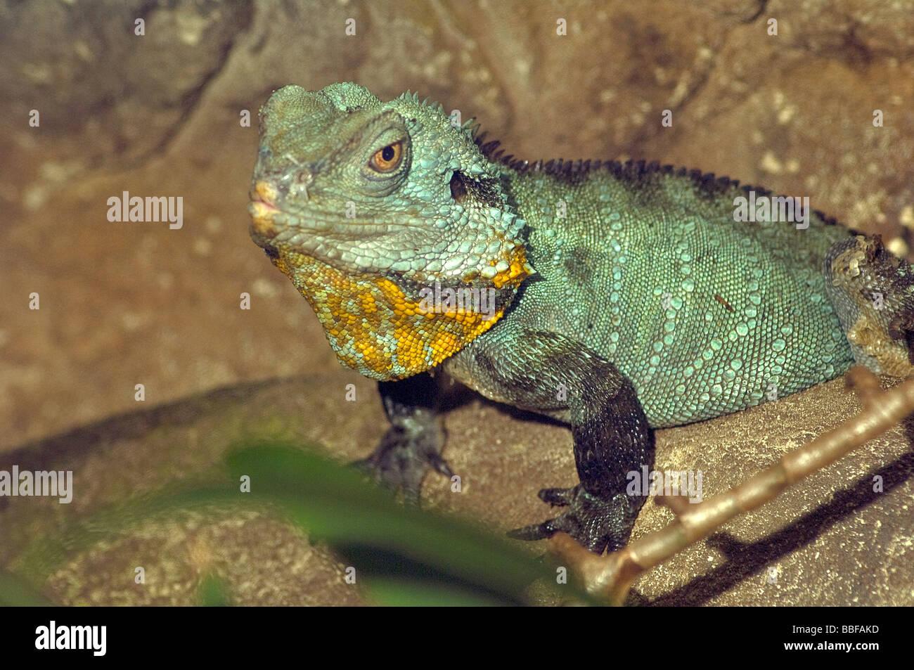 Gippsland water dragon Physignathus ...