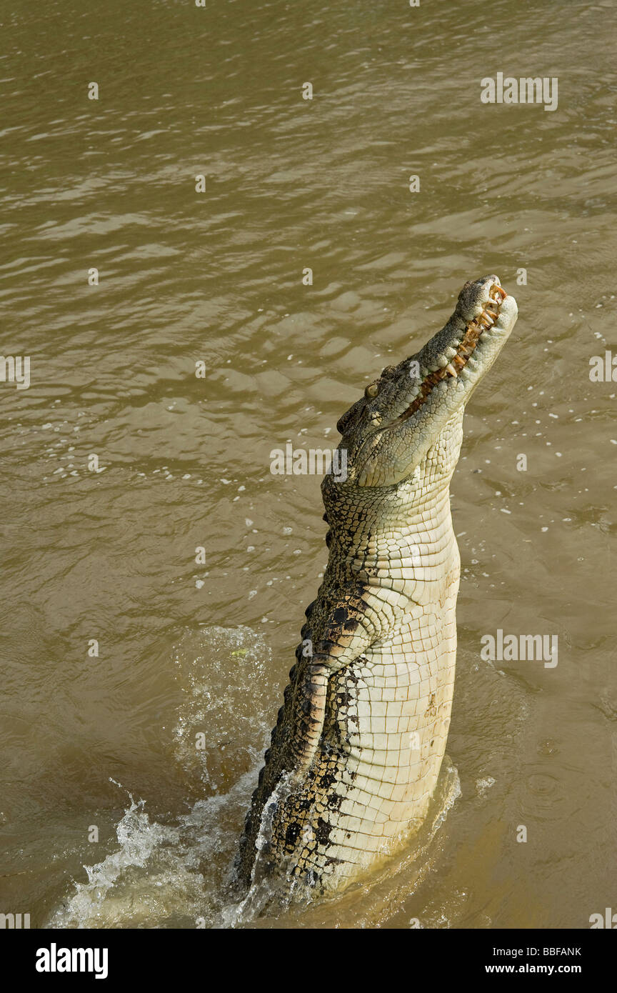 Saltwater crocodile leaps out of Adelaide River Australia - Stock Image