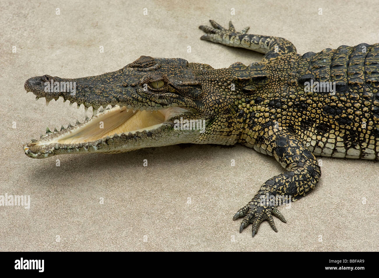Farmed saltwater crocodile Crocodylus porosus with mouth agape Australia - Stock Image