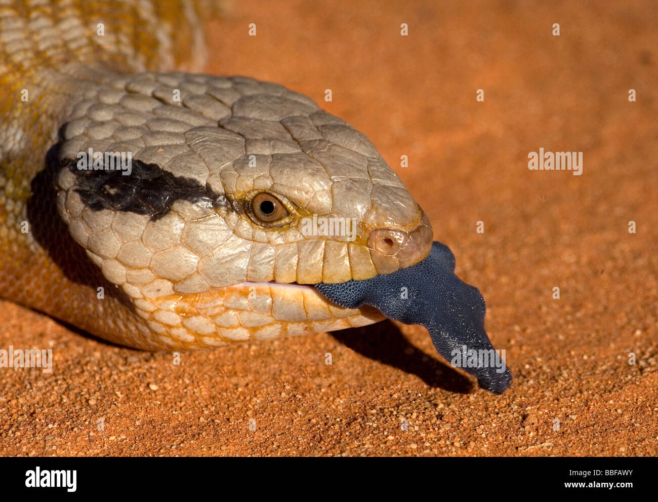 Tongue of Centralian blue tongue Australian skink - Stock Image