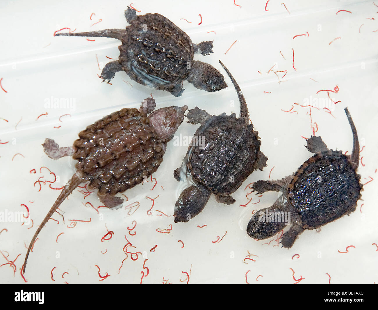 Baby alligator snapping turtles Macrochelys temminckii with bloodworms for sale in Hong Kong - Stock Image