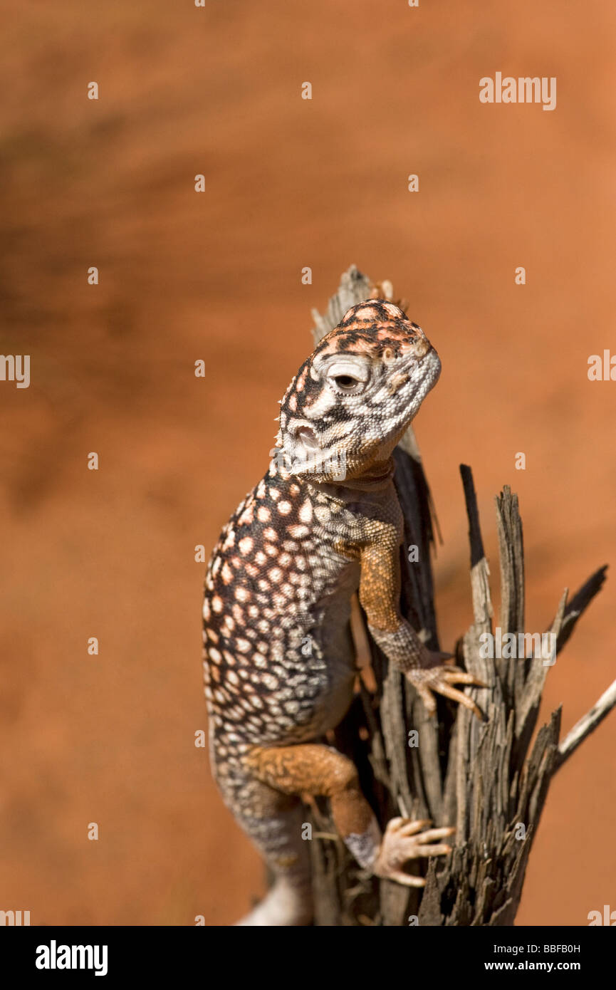 Central netted dragon lizard Ctenophorus nuchalis Agamidae perches on a dead stump in the Northern Territory Australia - Stock Image