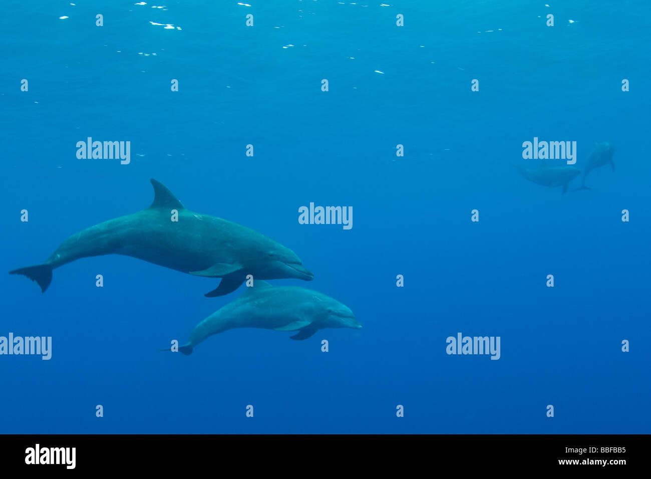 Bottlenose Dolphin Tursiops truncatus Clipperton Island France Mexico - Stock Image