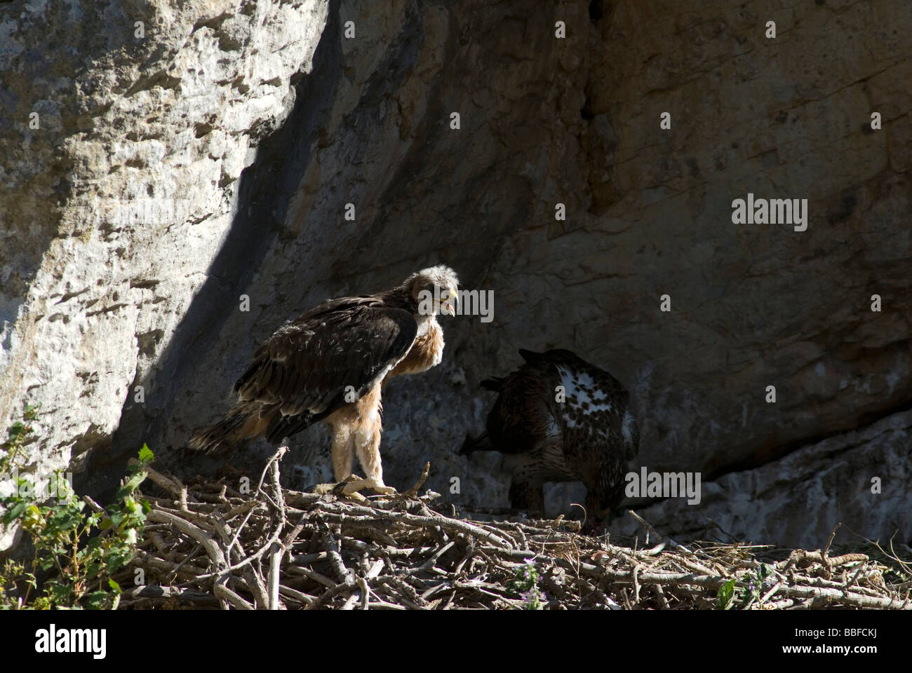 Bonelli's Eagle chick standing on edge of nest while adult feeds in the shadows Stock Photo