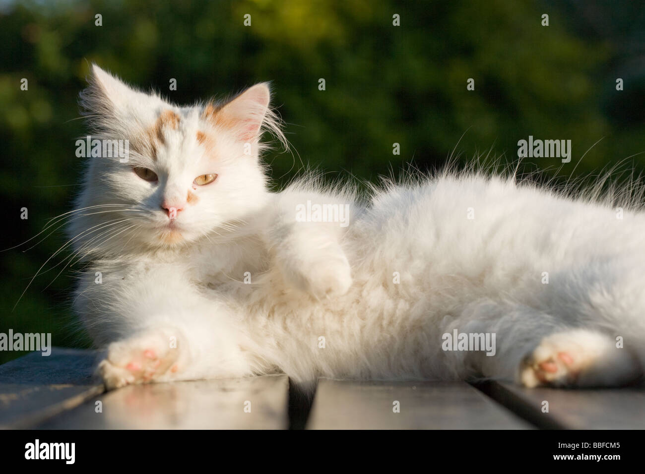 fb2e4ebd3e Turkish Van cat Stock Photo  24310837 - Alamy