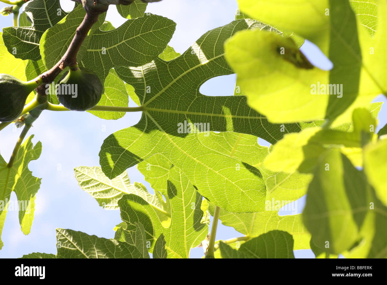 fig leaves - Stock Image