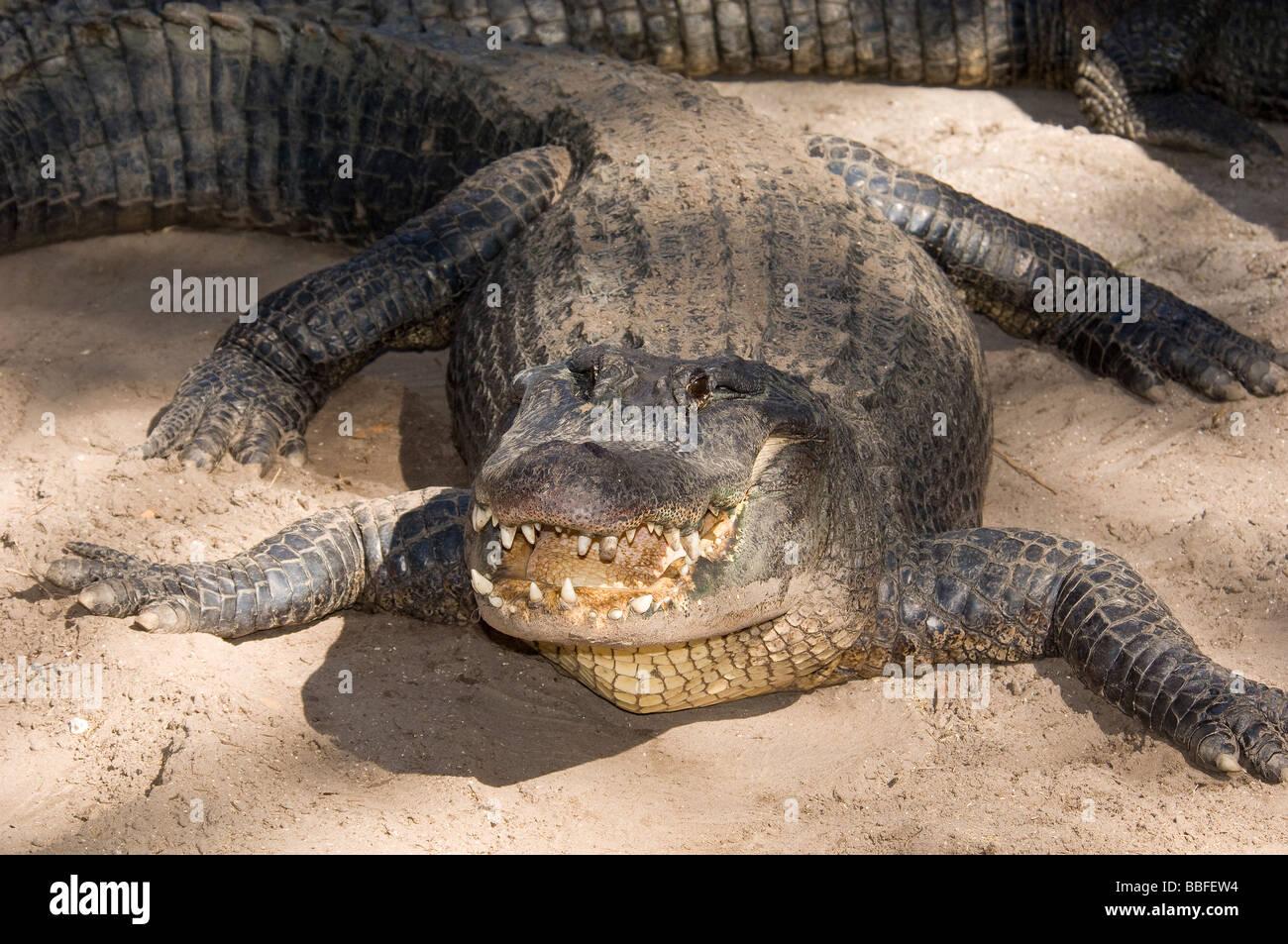American Alligator Alligator mississippiensis Florida - Stock Image