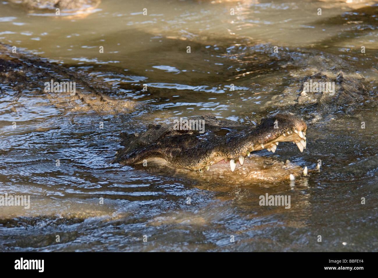 American Alligator Alligator mississippiensis in Florida - Stock Image