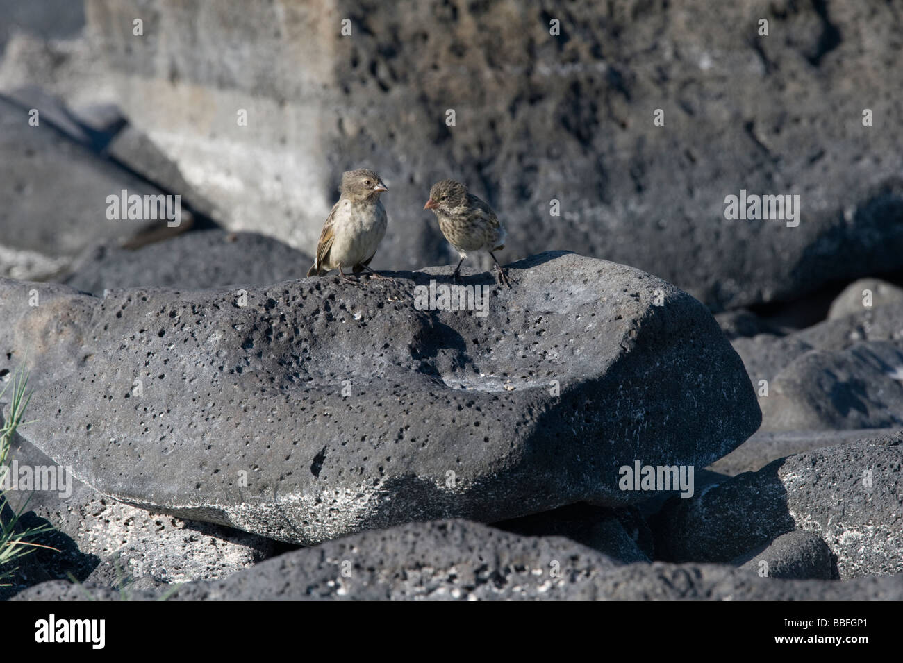 Sharp-beaked Ground-Finch (Geospiza difficilis) Gardner Bay Espanola Hood Galapagos Ecuador Pacific Ocean South - Stock Image
