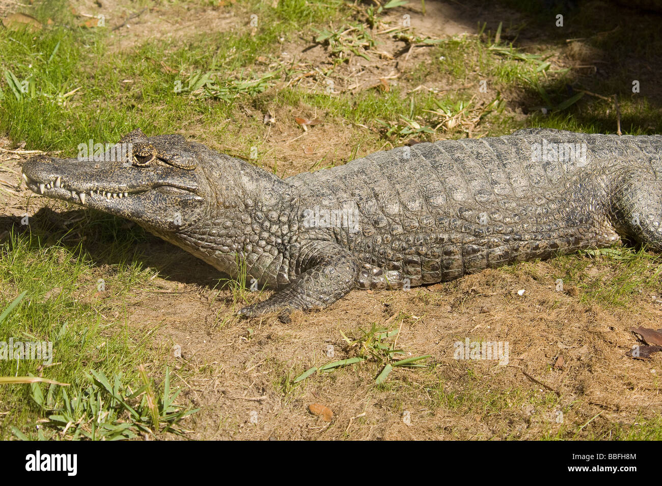 Southern Spectacled Caiman or Yacare Caiman found in central South America - Stock Image