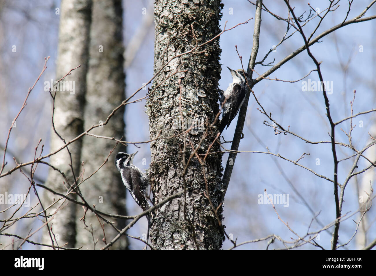 A pair of Three-toed Woodpeckers Picoides tridactylus  on a tree trunk - Stock Image