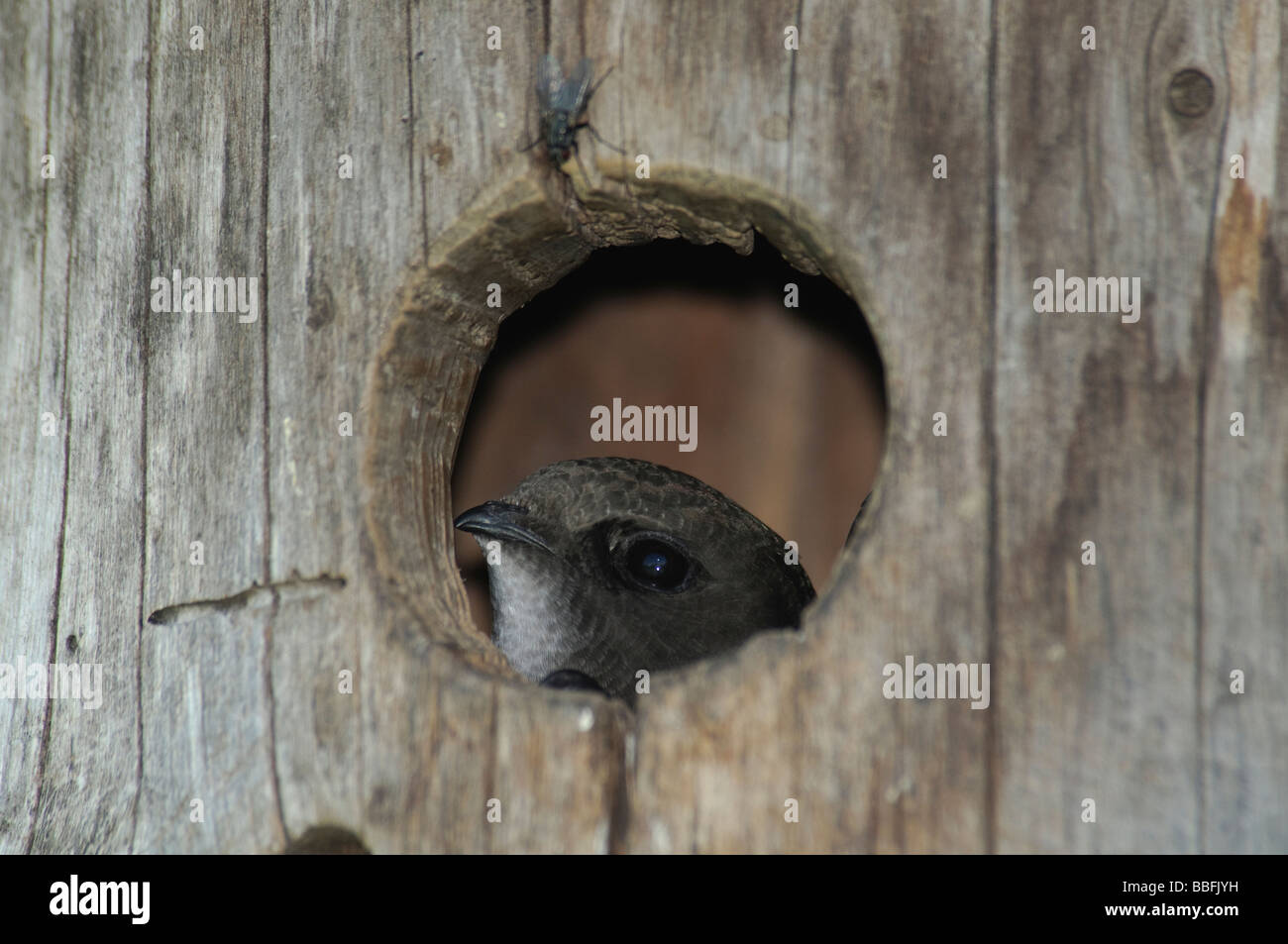 Common Swift Apus apus in nestbox - Stock Image