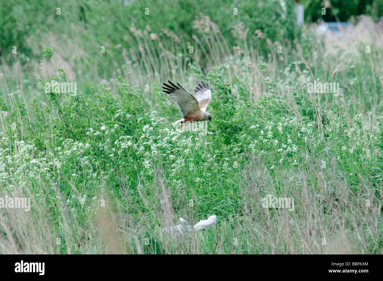 Marsh Harrier Circus aeruginosus hunting Stock Photo