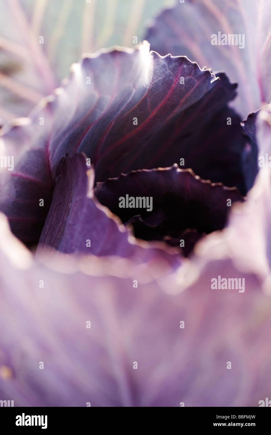 Purple cabbage, extreme close-up - Stock Image