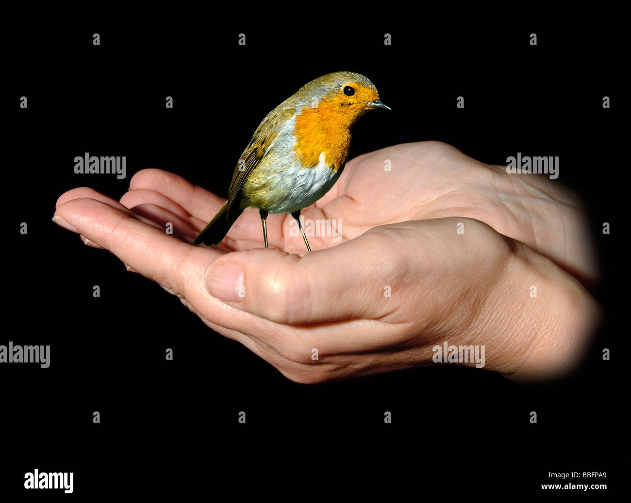 Robin In A Hand Stock Photos & Robin In A Hand Stock Images - Alamy