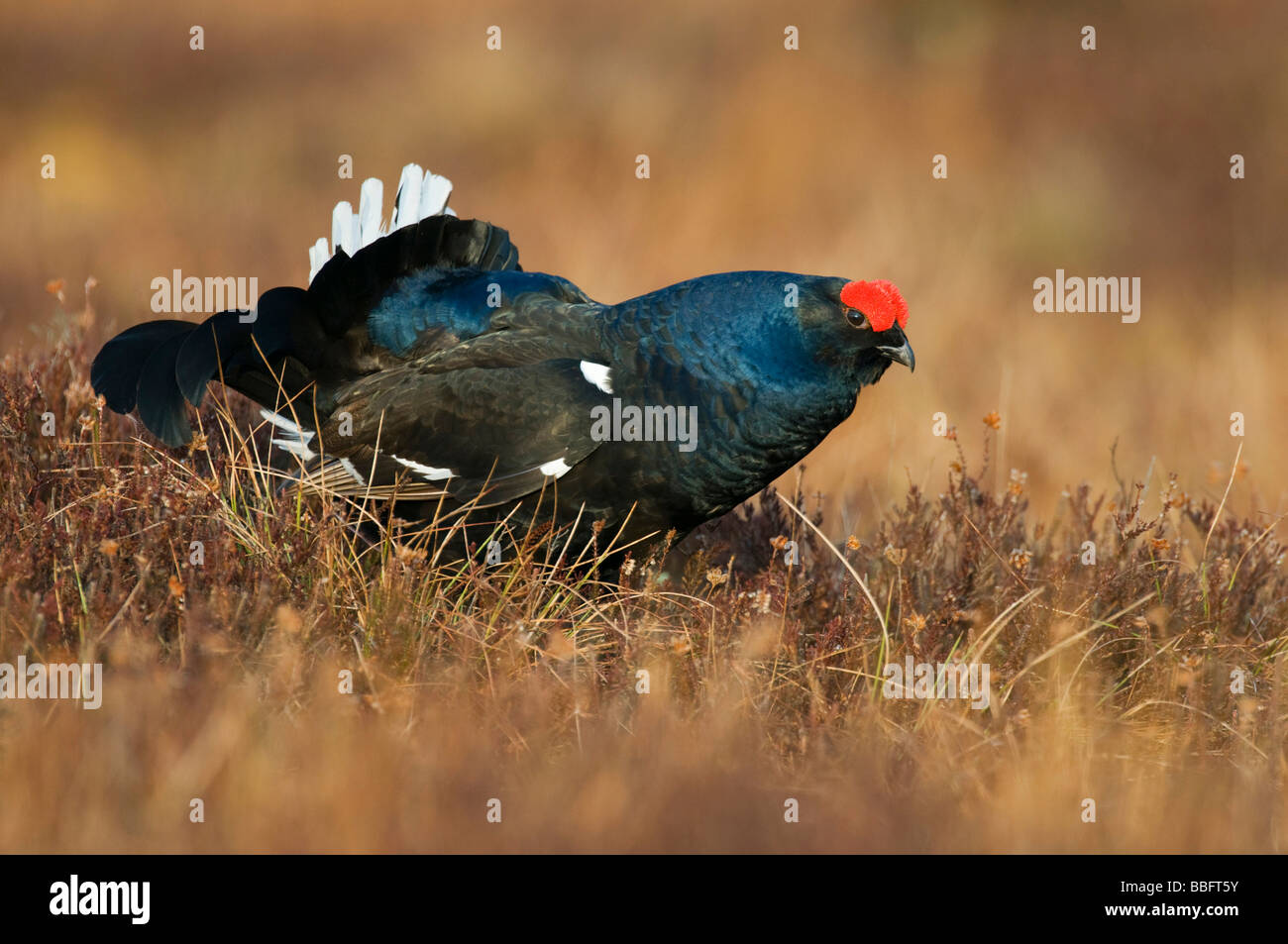 Black Grouse or Blackgame (Lyrurus tetrix or Tetrao tetrix), male or blackcock in a courtship display in a Swedish Stock Photo